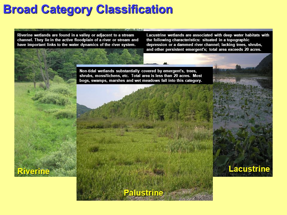 Broad Category Classification Riverine Lacustrine Riverine wetlands are found in a valley or adjacent to a stream channel. They lie in the active floo
