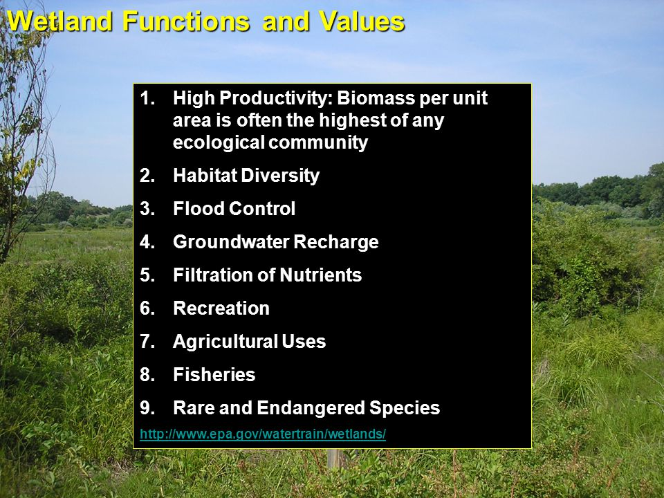 Wetland Functions and Values 1.High Productivity: Biomass per unit area is often the highest of any ecological community 2.Habitat Diversity 3.Flood C