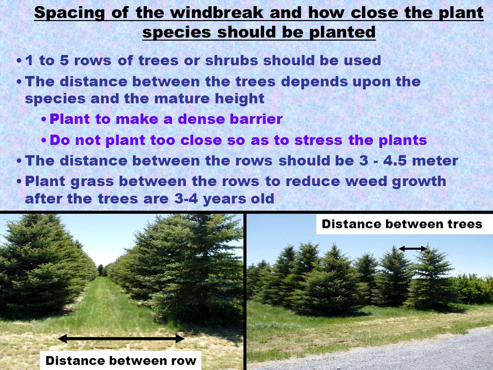 Spacing of the windbreak and how close the plant species should be planted 1 to 5 rows of trees or shrubs should be used The distance between the tree