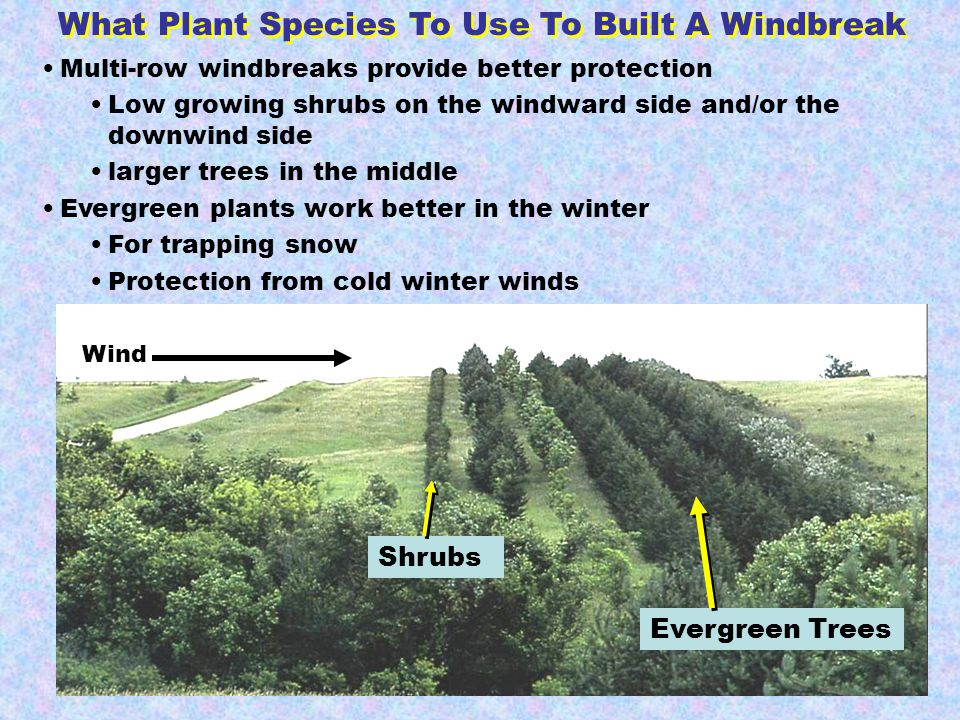 Wind Multi-row windbreaks provide better protection Low growing shrubs on the windward side and/or the downwind side larger trees in the middle Evergreen plants work better in the winter For trapping snow Protection from cold winter winds Shrubs Evergreen Trees What Plant Species To Use To Built A Windbreak