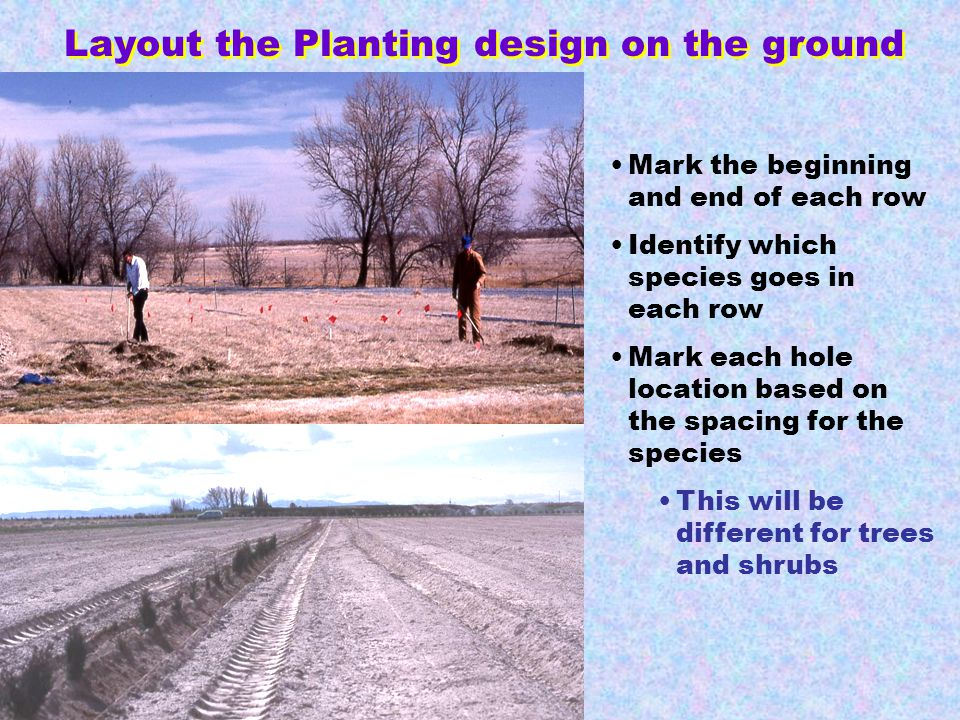 Layout the Planting design on the ground Mark the beginning and end of each row Identify which species goes in each row Mark each hole location based on the spacing for the species This will be different for trees and shrubs