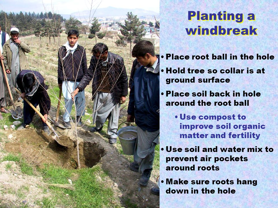 Place root ball in the hole Hold tree so collar is at ground surface Place soil back in hole around the root ball Use compost to improve soil organic matter and fertility Use soil and water mix to prevent air pockets around roots Make sure roots hang down in the hole