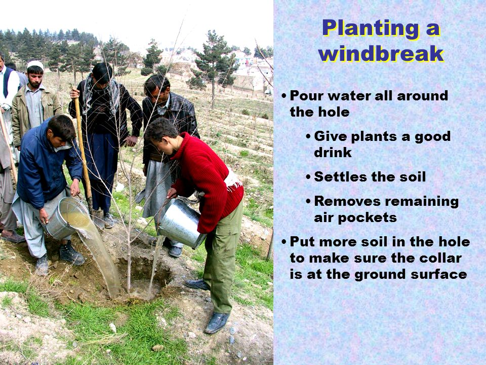 Planting a windbreak Pour water all around the hole Give plants a good drink Settles the soil Removes remaining air pockets Put more soil in the hole to make sure the collar is at the ground surface