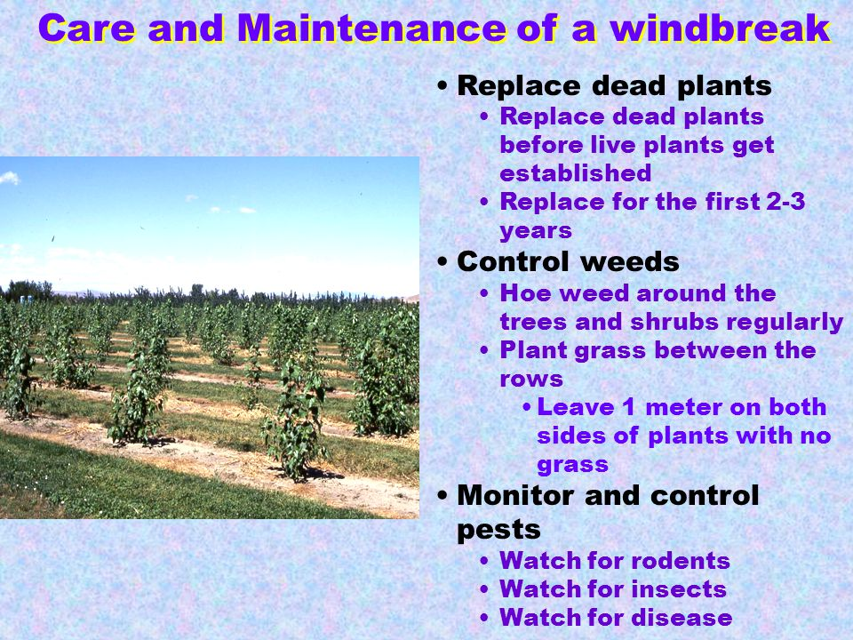 Replace dead plants Replace dead plants before live plants get established Replace for the first 2-3 years Control weeds Hoe weed around the trees and