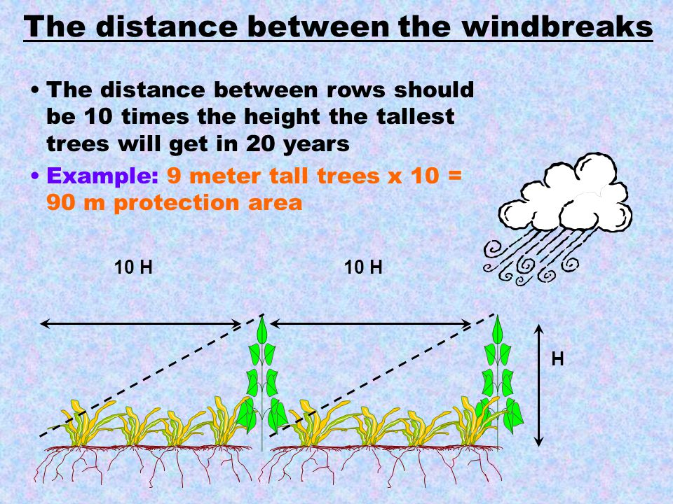H 10 H The distance between rows should be 10 times the height the tallest trees will get in 20 years Example: 9 meter tall trees x 10 = 90 m protecti