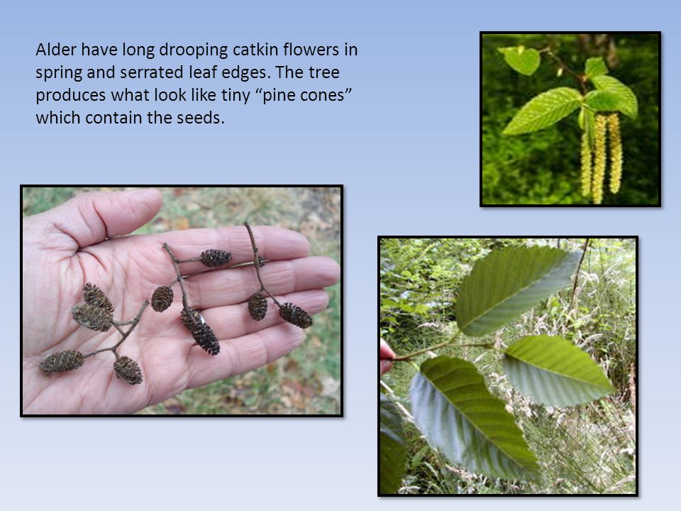 Alder have long drooping catkin flowers in spring and serrated leaf edges.