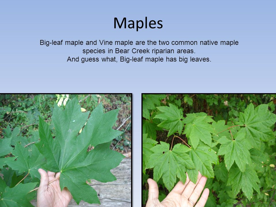 Maples Big-leaf maple and Vine maple are the two common native maple species in Bear Creek riparian areas. And guess what, Big-leaf maple has big leav