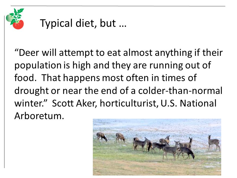 Typical diet, but … Deer will attempt to eat almost anything if their population is high and they are running out of food.
