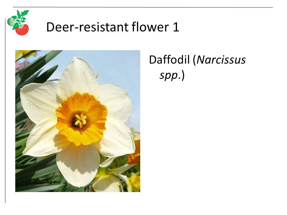 Deer-resistant flower 1 Daffodil (Narcissus spp.)