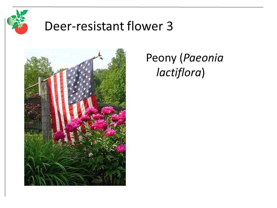Deer-resistant flower 3 Peony (Paeonia lactiflora)