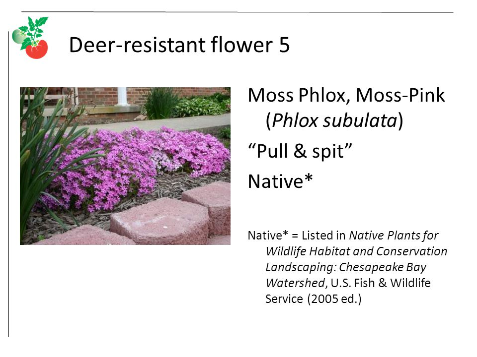 Deer-resistant flower 5 Moss Phlox, Moss-Pink (Phlox subulata) Pull & spit Native* Native* = Listed in Native Plants for Wildlife Habitat and Conservation Landscaping: Chesapeake Bay Watershed, U.S.