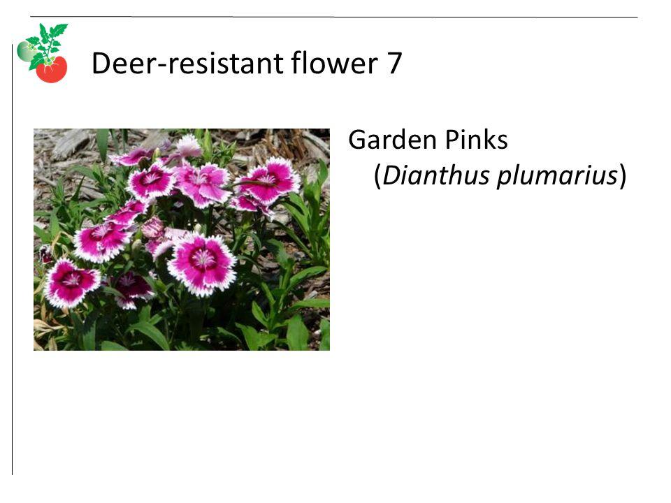 Deer-resistant flower 7 Garden Pinks (Dianthus plumarius)