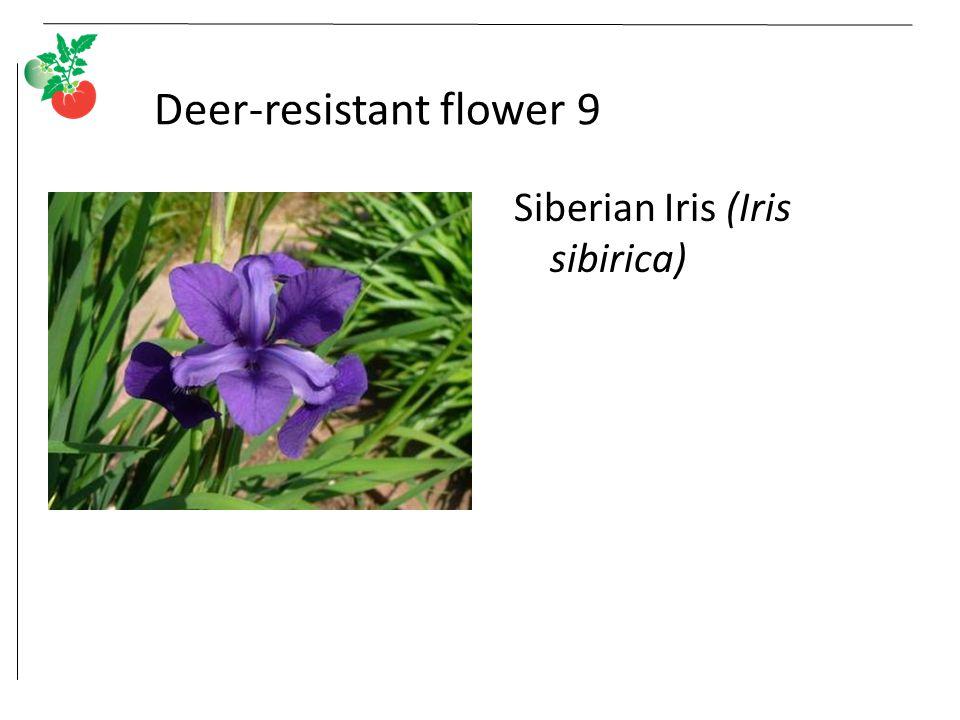 Deer-resistant flower 9 Siberian Iris (Iris sibirica)