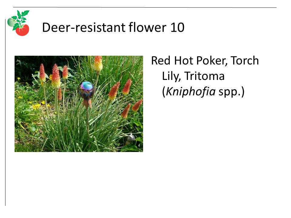 Deer-resistant flower 10 Red Hot Poker, Torch Lily, Tritoma (Kniphofia spp.)