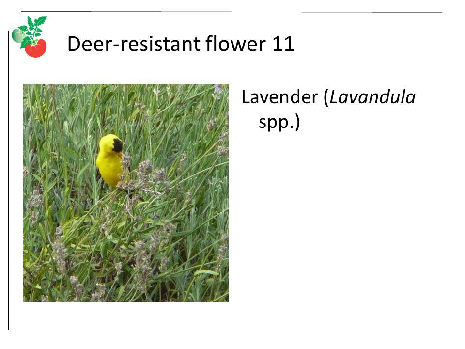Deer-resistant flower 11 Lavender (Lavandula spp.)