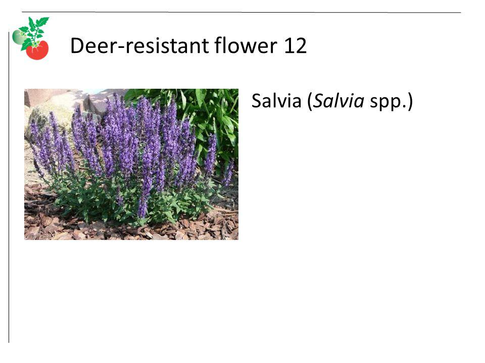 Deer-resistant flower 12 Salvia (Salvia spp.)