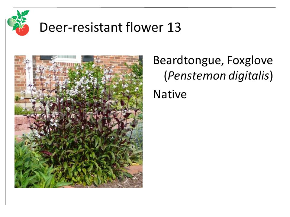 Deer-resistant flower 13 Beardtongue, Foxglove (Penstemon digitalis) Native