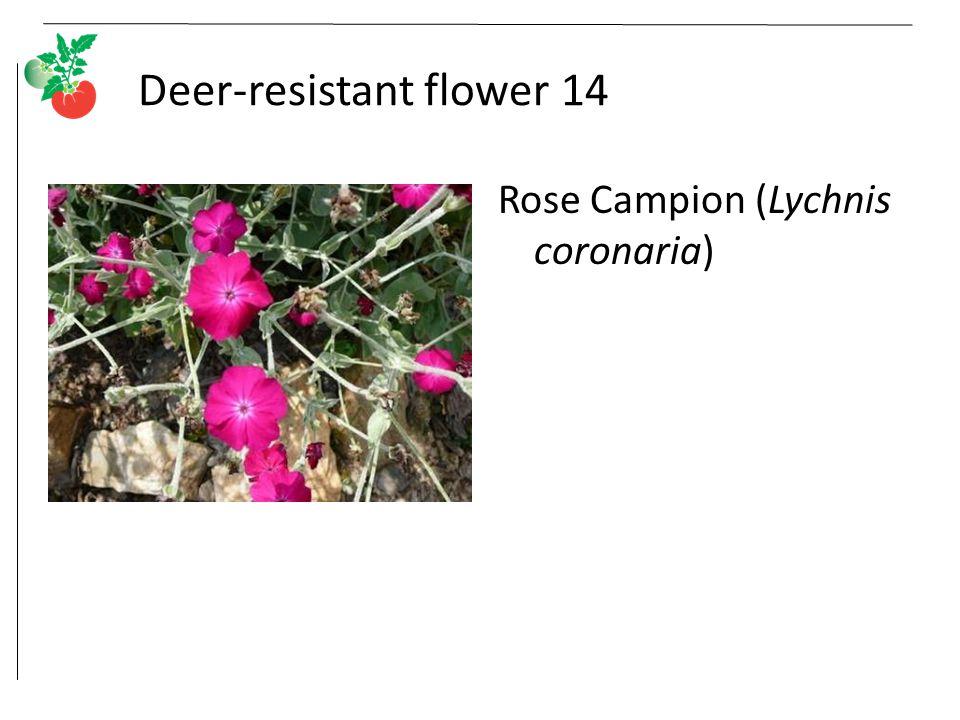 Deer-resistant flower 14 Rose Campion (Lychnis coronaria)