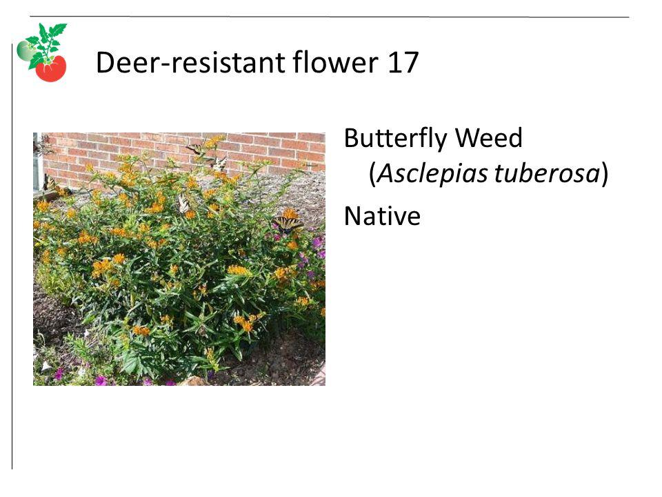 Deer-resistant flower 17 Butterfly Weed (Asclepias tuberosa) Native