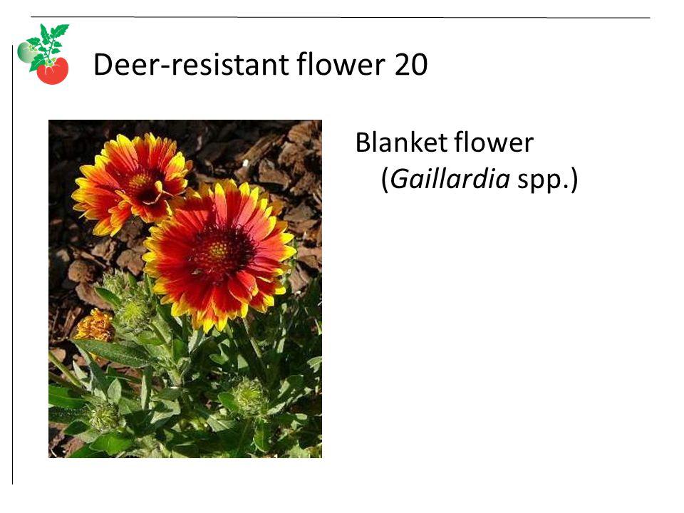 Deer-resistant flower 20 Blanket flower (Gaillardia spp.)
