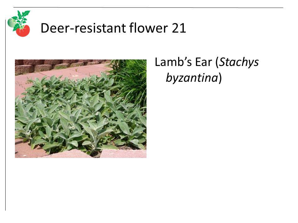 Deer-resistant flower 21 Lamb's Ear (Stachys byzantina)