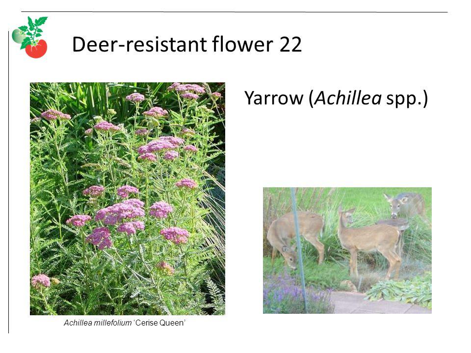 Deer-resistant flower 22 Yarrow (Achillea spp.) Achillea millefolium 'Cerise Queen'