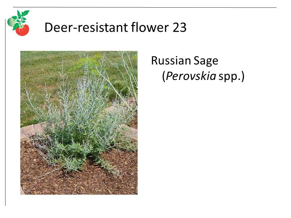 Deer-resistant flower 23 Russian Sage (Perovskia spp.)