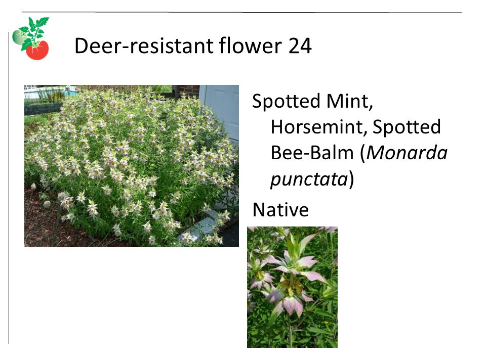 Deer-resistant flower 24 Spotted Mint, Horsemint, Spotted Bee-Balm (Monarda punctata) Native