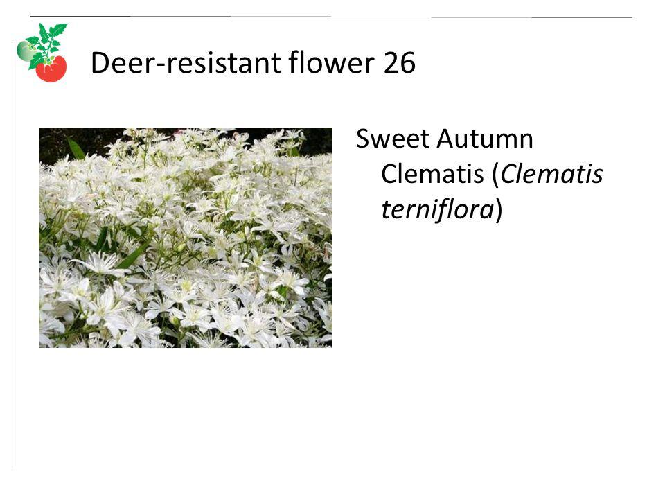 Deer-resistant flower 26 Sweet Autumn Clematis (Clematis terniflora)