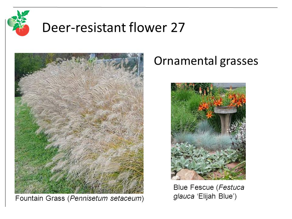 Deer-resistant flower 27 Ornamental grasses Fountain Grass (Pennisetum setaceum) Blue Fescue (Festuca glauca 'Elijah Blue')