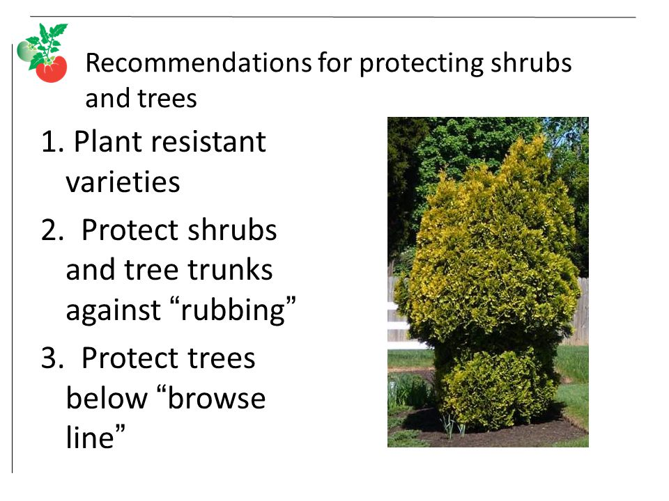 Recommendations for protecting shrubs and trees 1.