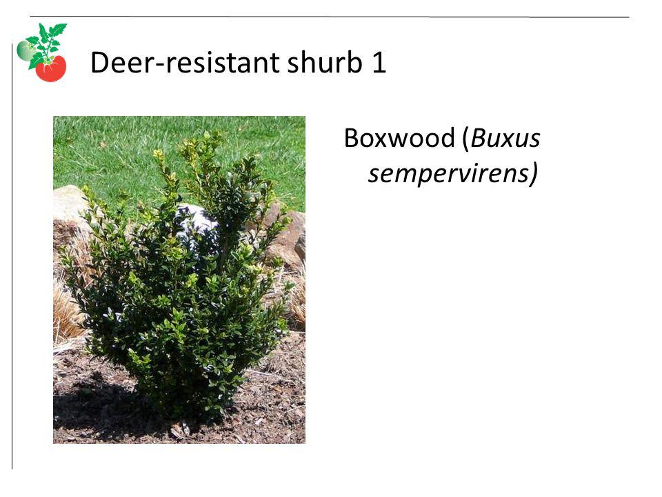 Deer-resistant shurb 1 Boxwood (Buxus sempervirens)