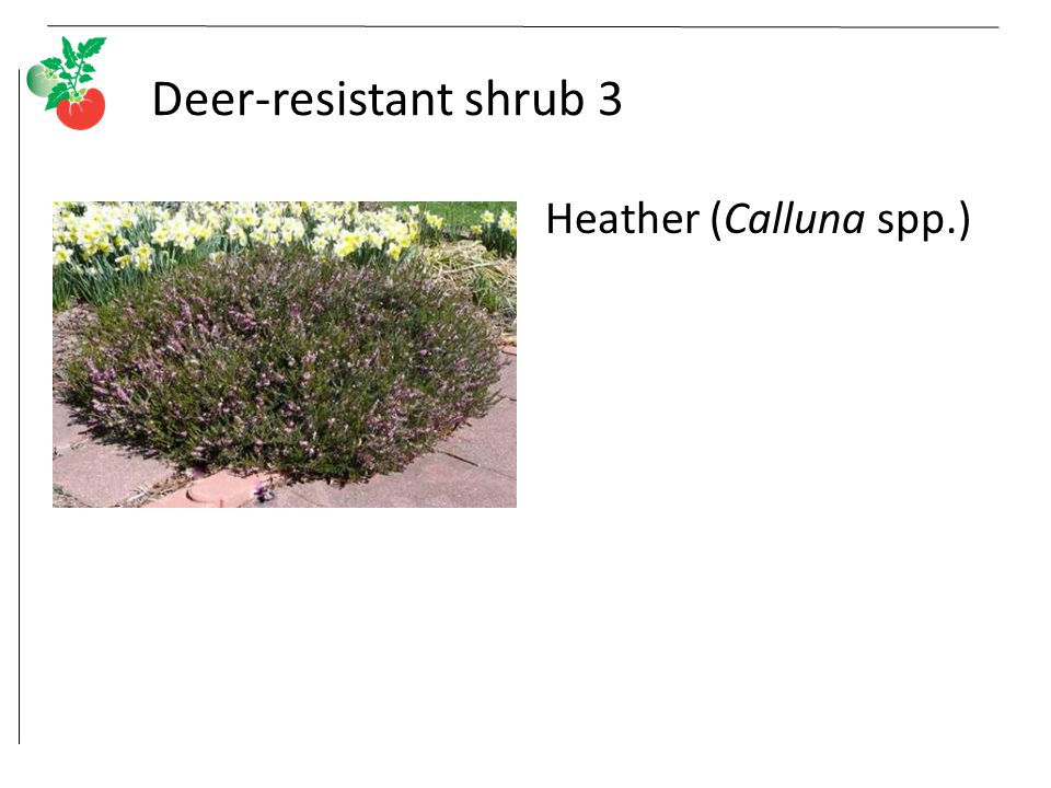 Deer-resistant shrub 3 Heather (Calluna spp.)