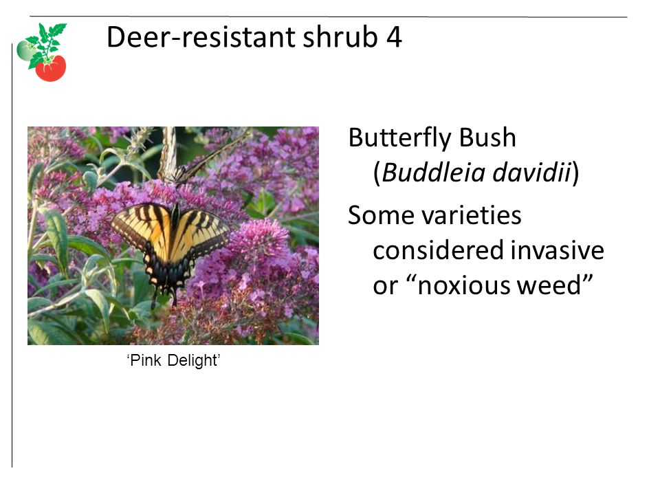 Deer-resistant shrub 4 Butterfly Bush (Buddleia davidii) Some varieties considered invasive or noxious weed 'Pink Delight'