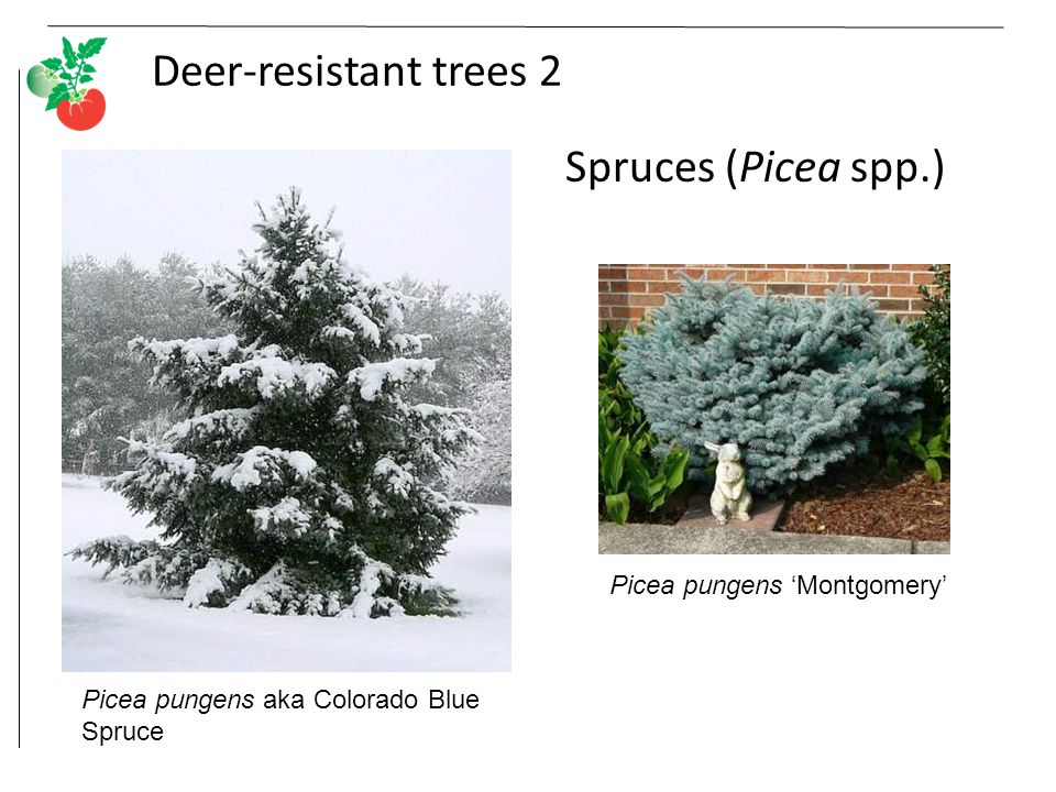 Deer-resistant trees 2 Spruces (Picea spp.) Picea pungens aka Colorado Blue Spruce Picea pungens 'Montgomery'