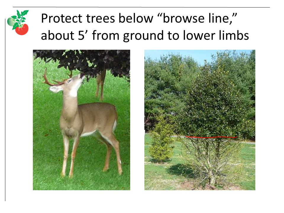 Protect trees below browse line, about 5' from ground to lower limbs