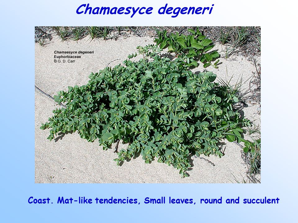 Chamaesyce degeneri Coast. Mat-like tendencies, Small leaves, round and succulent