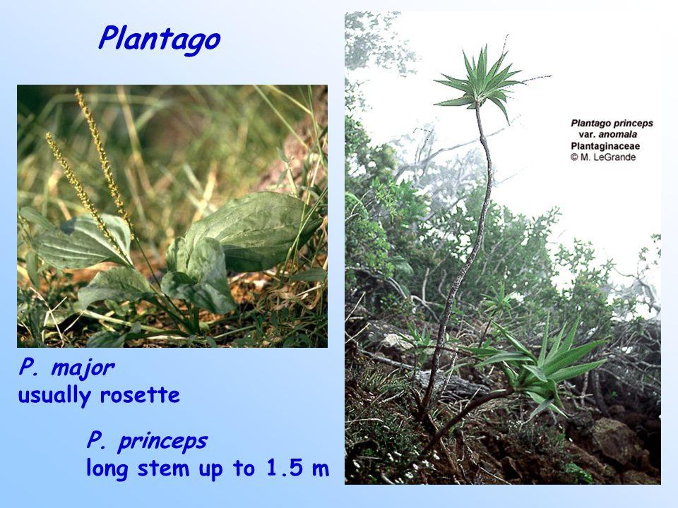 Plantago P. princeps long stem up to 1.5 m P. major usually rosette