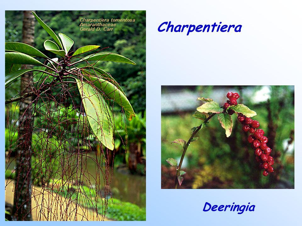 Charpentiera Deeringia