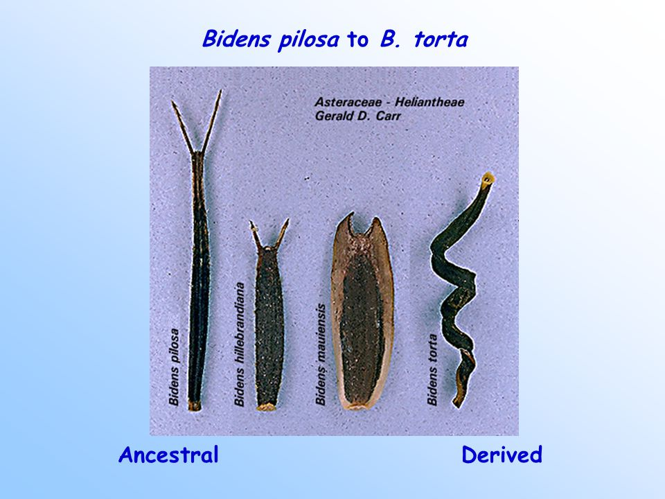 Bidens pilosa to B. torta AncestralDerived