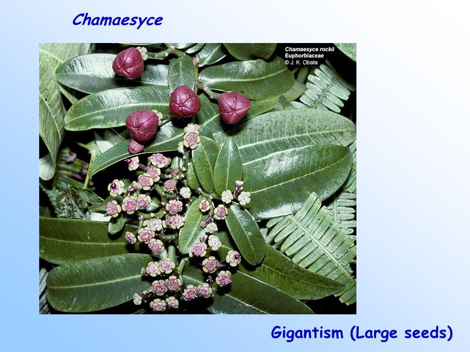 Gigantism (Large seeds) Chamaesyce