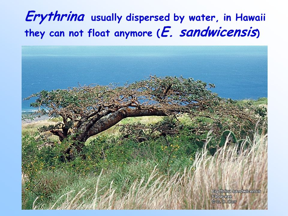 Erythrina usually dispersed by water, in Hawaii they can not float anymore ( E. sandwicensis )