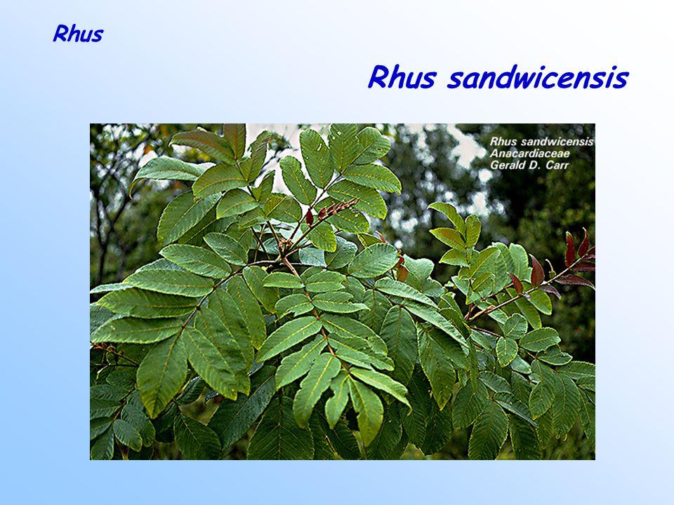 Rhus Rhus sandwicensis