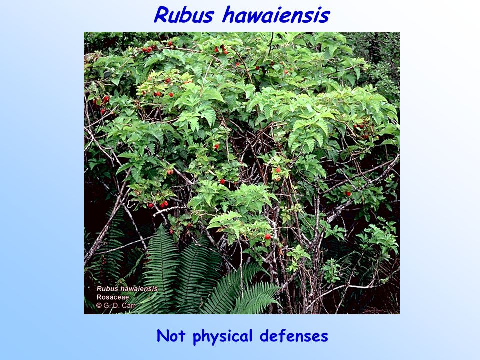 Rubus hawaiensis Not physical defenses