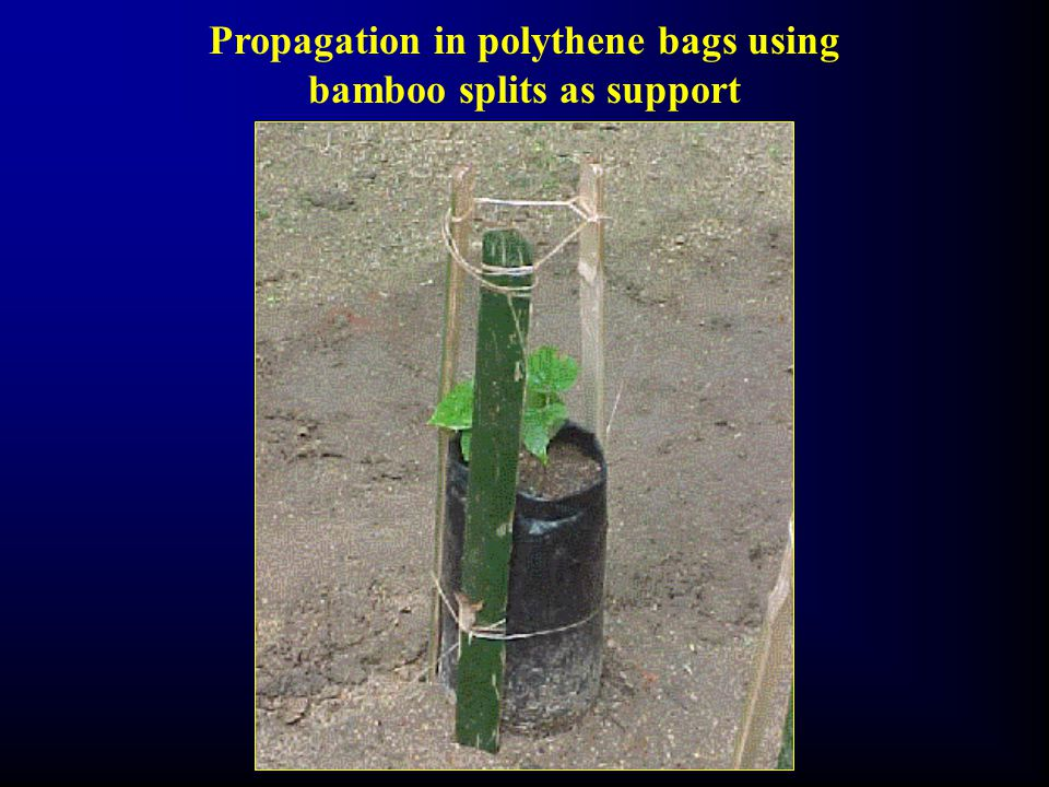 Propagation in polythene bags using bamboo splits as support