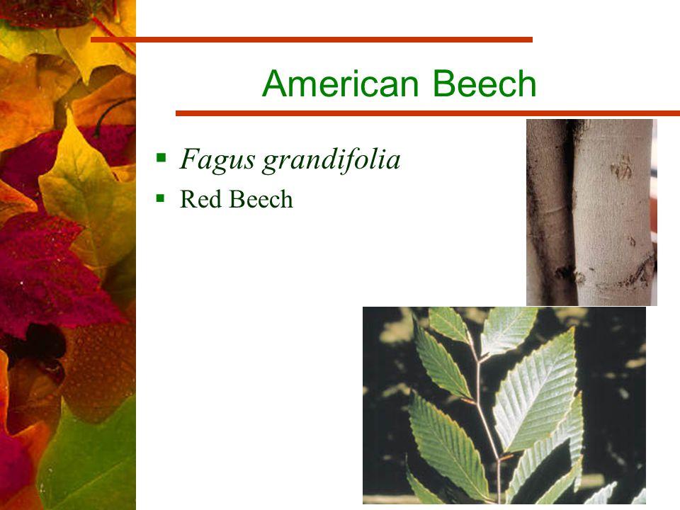 American Beech  Fagus grandifolia  Red Beech