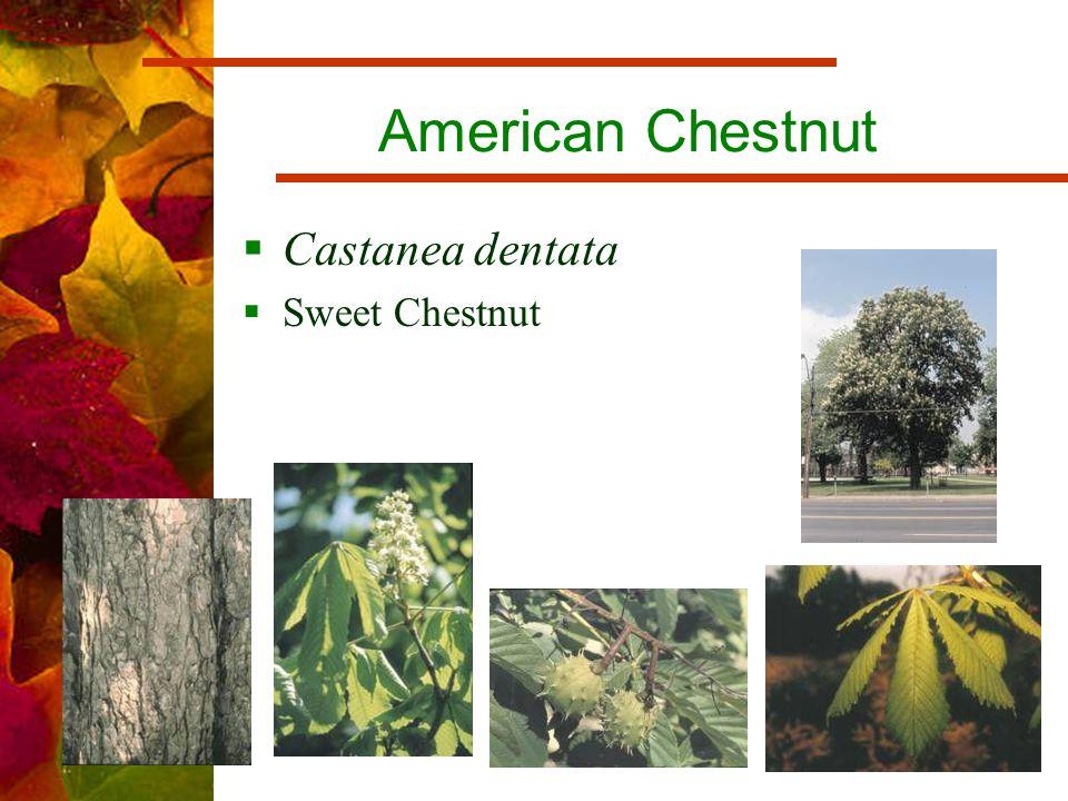 American Chestnut  Castanea dentata  Sweet Chestnut