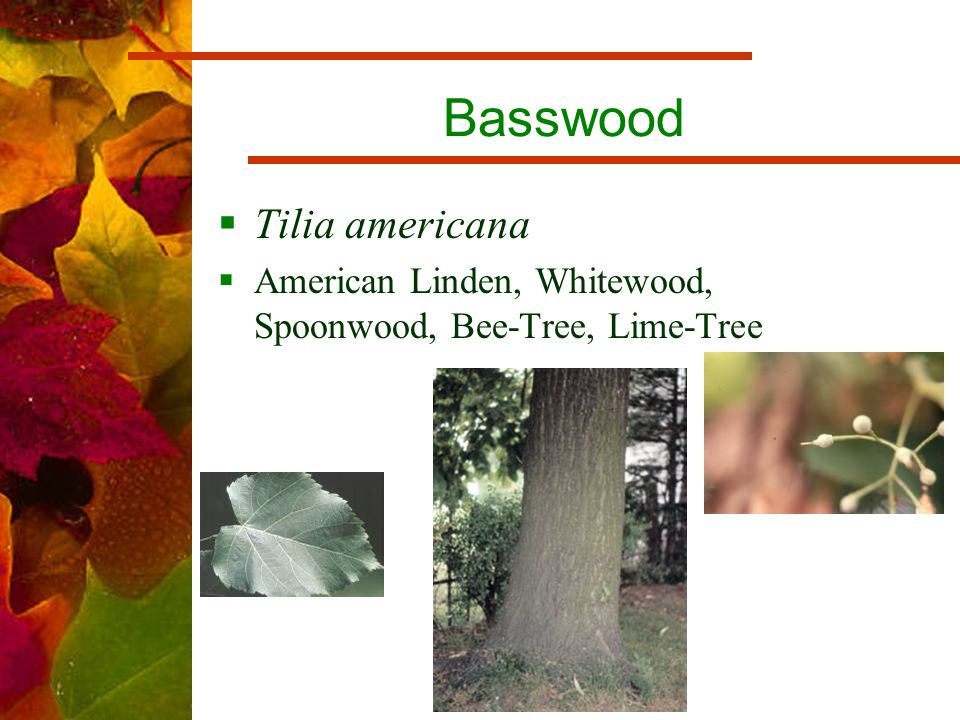 Basswood  Tilia americana  American Linden, Whitewood, Spoonwood, Bee-Tree, Lime-Tree