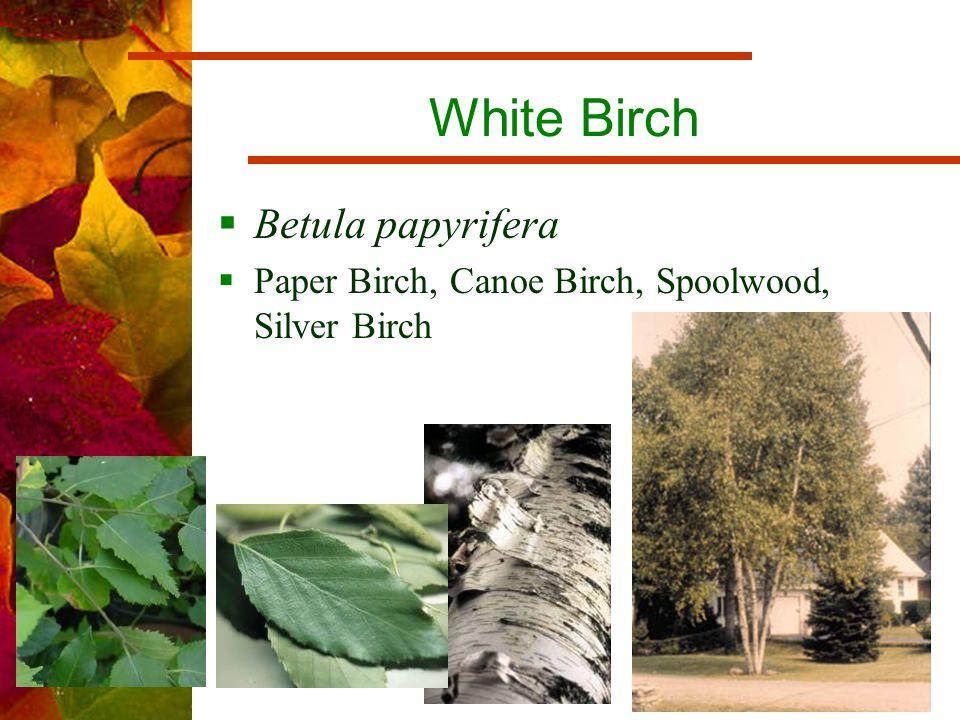 White Birch  Betula papyrifera  Paper Birch, Canoe Birch, Spoolwood, Silver Birch