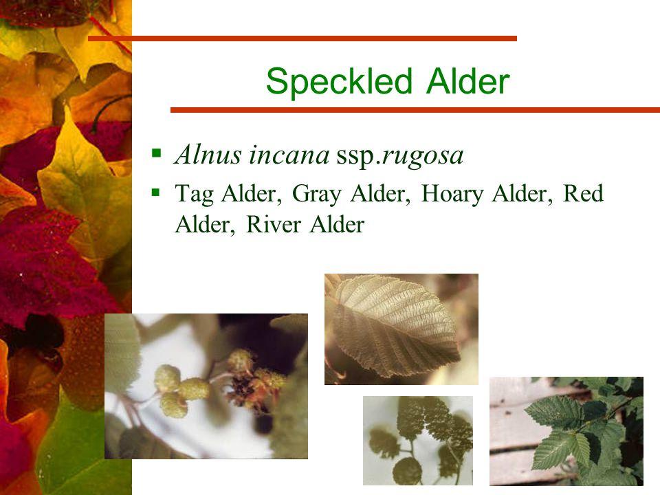 Speckled Alder  Alnus incana ssp.rugosa  Tag Alder, Gray Alder, Hoary Alder, Red Alder, River Alder